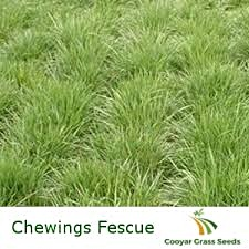 Chewings fescue grass pioneered locally